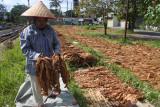 Seorang buruh tani menjemur daun tembakau kasturi di Desa Kalisat, Kalisat, Jember, Jawa Timur, Selasa (28/9/2021). Buruh tersebut mendapatkan upah harian sebesar Rp40.000 per orang, masih di bawah rata-rata upah buruh tani nasional hasil survei Badan Pusat Statistik (BPS) yang menyebut per Agustus 2021 sebesar Rp56.902 per hari. Antara Jatim/Seno/zk.