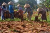 Sejumlah buruh tani menjemur daun tembakau kasturi di Desa Kalisat, Kalisat, Jember, Jawa Timur, Selasa (28/9/2021). Buruh tersebut mendapatkan upah harian sebesar Rp40.000 per orang, masih di bawah rata-rata upah buruh tani nasional hasil survei Badan Pusat Statistik (BPS) yang menyebut per Agustus 2021 sebesar Rp56.902 per hari. Antara Jatim/Seno/zk.