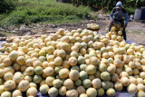 Petani memanen buah melon di areal persawahan kawasan Sawotratap, Sidoarjo, Jawa Timur, Selasa (28/9/2021). Petani setempat mengalami kerugian akibat dari musim kemarau diselangi hujan menyebabkan kualitas buah melon hasil panen menurun. Antara Jatim/Umarul Faruq/zk.