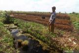 Petani Kalibandung Ahmad memperlihatkan lahan gambut yang ditanami jahe dan disiram air dari kolam buatan di Desa Kalibandung, Kecamatan Sungai Raya, Kabupaten Kubu Raya, Kalimantan Barat, Senin (25/7/2021). Lembaga Pengelola Hutan Desa (LPHD) Kalibandung bersama Pemdes setempat, Kelompok Usaha Perhutanan Sosial (KUPS) dan sejumlah NGO pendamping seperti WWF dan YNKI bersinergi dalam menjaga keanekaragaman hayati di Lanskap Kubu karena memerlukan perhatian ekstra bagi segenap elemen terkait. ANTARA KALBAR Jessica Wuysang