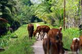 Sejumlah sapi milik warga merumput di di Desa Kalibandung, Kecamatan Sungai Raya, Kabupaten Kubu Raya, Kalimantan Barat, Senin (25/7/2021). Lembaga Pengelola Hutan Desa (LPHD) Kalibandung bersama Pemdes setempat, Kelompok Usaha Perhutanan Sosial (KUPS) dan sejumlah NGO pendamping seperti WWF dan YNKI bersinergi dalam menjaga keanekaragaman hayati di Lanskap Kubu karena memerlukan perhatian ekstra bagi segenap elemen terkait. ANTARA KALBAR Jessica Wuysang