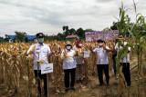 Panen jagung 150 hektare, Bupati Gumas berharap petani semakin sejahtera