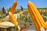 Pemerintah tugaskan Bulog pasok 30 ribu ton jagung pakan