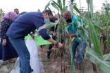 Petani Palu  pertahankan jagung sebagai komoditas utama