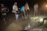 Warga menguburkan seekor lumba-lumba bungkuk (Sousa chinensis) yang mati terdampar di Pantai Pasir Jambak, Padang, Sumatera Barat, Sabtu (2/10/2021). Lumba-lumba sepanjang 2,2 meter tersebut ditemukan mati terdampar sejak Sabtu (2/1/2021) sore, dan warga berinisiatif menguburkan di tepi pantai karena kondisinya sudah membusuk. ANTARA FOTO/Iggoy el Fitra/aww.