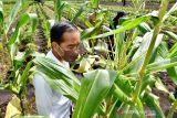 Jokowi minta Mentan SYL tingkatkan kapasitas produksi jagung
