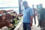 Pemkab Buol  siap tingkatkan populasi sapi capai 50.000 ekor