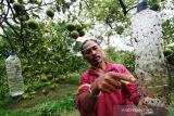 Serangan hama lalat landa empat desa di Aceh Barat