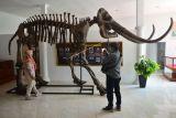 Pengunjung mengamati replika fosil gajah purba (Stegodon trigonochepalus) koleksi Museum Situs Purba Patiayam di Desa Terban, Jekulo, Kudus, Jawa Tengah, Selasa (5/10/2021). Museum tersebut menyimpan fosil yang mewakili 17 spesies hewan yang terdiri hewan laut, darat dan rawa serta ribuan fragmen tulang hewan vertebrata dan invertebrata, namun museum ini masih sepi pengunjung dengan rata-rata 25 orang per hari meski kunjungan ke museum gratis. ANTARA FOTO/Yusuf Nugroho/foc.
