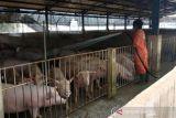 Pulau Bulan ekspor babi ke Singapura 1.000 ekor per hari