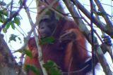 BKSDA Pos Sampit temukan induk dan anak orangutan di kebun warga Ketapang