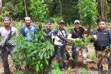 Seluas 1,5 Ha ladang ganja siap panen ditemukan di hutan lindung Rejang Lebong