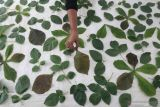 Perajin menata daun pada kain katun saat proses pembuatan sajadah ecoprint di Cabhi Craft, Desa Paron, Kediri, Jawa Timur, Minggu (10/10/2021). Kerajinan sajadah dengan pewarnaan alami tersebut dipasarkan melalui media sosial seharga Rp100 ribu per lembar. Antara Jatim/Prasetia Fauzani/zk.