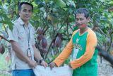 Pupuk Indonesia : 79 persen pupuk subsidi kakao disalurkan di Sulawesi Selatan