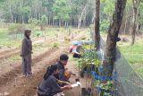 Mendorong  budi daya porang di sela tanaman perkebunan