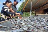 Ikan Depik. Nelayan tepi Danau Lut Tawar, Kabupaten Aceh Tengah menjemur ikan depik hasil tangkapannya di danau tersebut, Sabtu (9/10). Pedagang menjual ikan depik kering dengan harga Rp80 ribu per bambu. ANTARA/Azhari