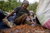 Kontribusi Sulteng pada Produksi Kakao Nasional