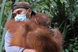 Tiga ekor orangutan dilepasliarkan di hutan Kapuas Hulu