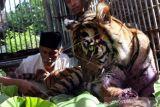 Harimau berkeliaran di perkebunan, BKSDA datangkan pawang lakukan penanganan