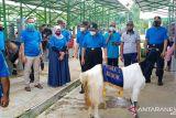 Kulon Progo gelar kontes Kambing PE dan Sapi PO