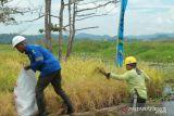 Petani binaan Poso Energy  panen padi hasil teknologi apung