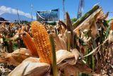 Jagung  akan jadi komoditas unggulan di Morowali Utara