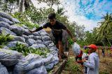 BPDASHL Kahayan salurkan 52.520 bibit pohon untuk pulihkan TN Sebangau
