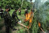 Seluas 3,5 hektare ladang ganja di Aceh Besar dimusnahkan