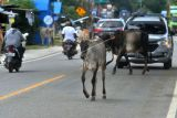 Ternak sapi berkeliaran di Jalur Trans Sulawesi, Palu, Sulawesi Tengah, Selasa (12/10/2021). Ternak yang berkeliaran pada jalur jalan nasional tersebut membahayakan pengendara yang melintas. ANTARA FOTO/Mohamad Hamzah/rwa.
