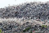 Kawanan burung kuntul putih (babulcus ibis) mencari makan di kawasan Tempat Pembuangan Akhir (TPA) Sampah Jabon, Sidoarjo, Jawa Timur, Kamis (14/10/2021). Kawanan burung kuntul yang biasa hidup di pesisir pantai dan hutan mangrove tersebut kini mencari makan dari tumpukan sampah di TPA. Antara Jatim/Umarul Faruq/zk.