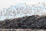 Kawanan burung kuntul putih (babulcus ibis) terbang di atas kawasan Tempat Pembuangan Akhir (TPA) Sampah di Jabon, Sidoarjo, Jawa Timur, Kamis (14/10/2021). Kawanan burung kuntul yang biasa hidup di pesisir pantai dan hutan mangrove tersebut kini mencari makan dari tumpukan sampah di TPA. Antara Jatim/Umarul Faruq/zk.