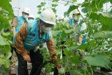 Program Electrifying Agriculture PLN bantu perkebunan melon di Blora