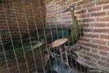 Seekor burung Merak Hijau (Pavo Maticus) berkelamin jantan usia dewasa berada di kandang milik warga saat dititipkan sementara oleh petugas Balai Konservasi Sumber Daya Alam (BKSDA) Jawa Timur di Kediri, Jawa Timur, Kamis (14/10/2021). BKSDA Jawa Timur menerima seekor burung merak hijau dalam kondisi sehat yang ditemukan pekerja di proyek pembangunan bandara Kediri kawasan gunung Wilis. Antara Jatim/Prasetia Fauzani/zk.