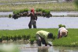 Petani menyiapkan bibit tanaman padi di kawasan pertanian padi sepanjang tahun Desa Jongbiru, Kediri, Jawa Timur, Rabu (13/10/2021). Pemerintah mendorong petani melakukan pola tanam padi empat kali dalam setahun guna meningkatkan produksi dan terjaminnya ketersediaan beras dalam negeri. Antara Jatim/Prasetia Fauzani/zk.