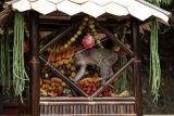 Seekor kera ekor panjang (Macaca fascicularis) mengambil buah-buahan dari gunungan yang dibuat oleh warga pada Festival Rewanda Bojana di Desa Ciakak, Wangon, Banyumas, Jateng, Rabu (13/10/2021). Festival Rewanda Bojana ialah tradisi memberi makanan kepada kera liar oleh warga di sekitar desa Ciakak, Banyumas, pada musim kemarau agar kera-kera tersebut tidak menjarah rumah warga akibat kekurangan makanan. ANTARA FOTO/Idhad Zakaria/aww.