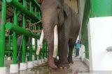 Gajah jinak di PLG Way Kambas alami sakit kembung