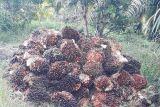 Harga sawit di Mukomuko tembus Rp2.690 per kilogram