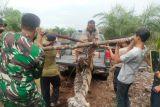 Harimau Sumatera ditemukan mati terjerat di Bengkalis