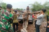 Seekor harimau sumatera ditemukan mati terjerat di Bengkalis