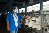 Pemkab Buol  kembangkan peternakan sapi berbasis kelompok