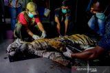 BBKSDA Riau: Harimau sumatera mati di Bengkalis  karena luka dan depresi