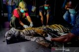 Menyedihkan, begini hasil nekropsi harimau mati di Bengkalis