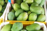 Jawa Timur ekspor 1,3 ton mangga ke Singapura