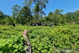 Unsyiah Kuala Banda Aceh ekspor 1 ton minyak nilam ke Prancis