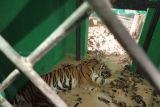 Kondisi harimau sumatera jalani rehabilitasi di BKSDA Jambi mulai membaik