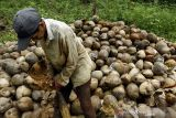 Konawe Selatan berpeluang pertahankan pengembangan kelapa