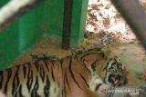 Harimau sumatera yang direhabilitasi di Jambi alami gangguan pencernaan