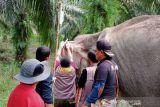 Ada gajah liar sakit di Inhu, ini yang dilakukan tim