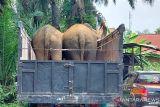 BKSDA Sumsel kirim tiga ekor gajah betina ke Jambi