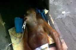 IAR Indonesia Rawat Anak Orangutan Sekarat